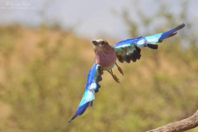 Lilac breasted roller in flight - AFRICANature