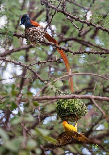 Looks like an apartment style housing project in a tree for the paradise flycatcher and Southern masked weaver - Chad Wright Photography