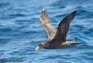 Northern Giant Petrel taken on a Cape Pelagic