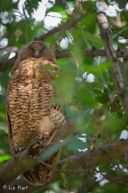 Pel's Fishing Owl at Mombo