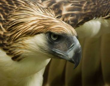 Philippine Eagle - Pithecophaga jefferyi - also known as the Monkey-eating Eagle, is endemic to forests in the Philippines. Photo - Klaus Nigge