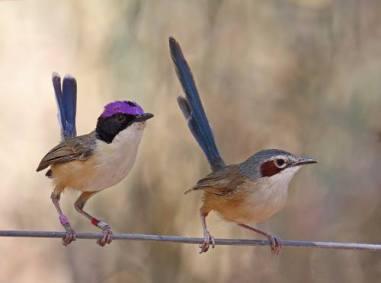 purple crowned fairy wrens.