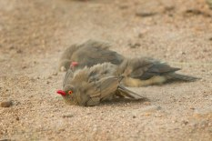 Red-billed Oxpeckers sand bathing