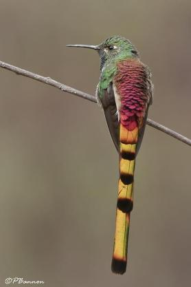 Red Tailed Comet Hummingbird