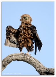 Ruffled Bataleur Eagle - Ross Couper Photography