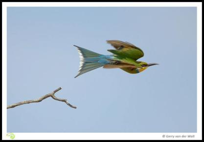 Swallow Tailes Bee Eater