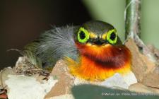 Yellow-bellied Wattle-eye