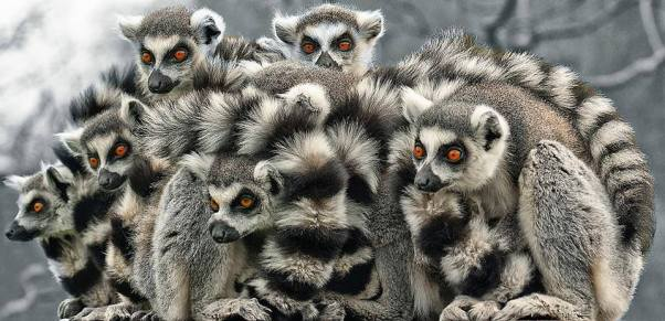 A group of ring tailed lemurs huddle together in Madagascar.