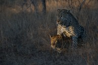 Amazing light on a rare sight, leopards mating, the Mashaba female and the Marthly male potentially help further the species.