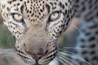 An intense stare from a beautiful male.