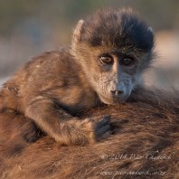 Chacma Baboon youngster riding on the back of his mother.