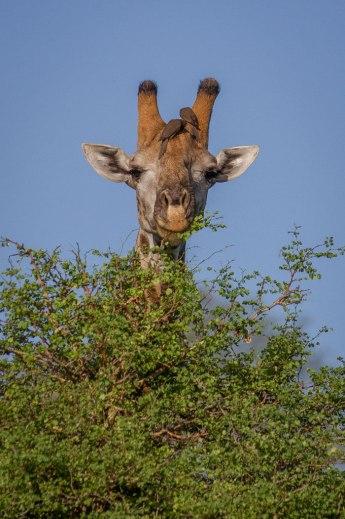 GiraffeMunch