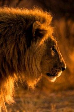 Golden Lion, at Kavita Range, close to the border of Etosha National Park, Namibia.