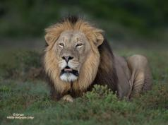 His Majesty - King Leo