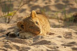 One of the tsalala cubs resting in the manyalethi