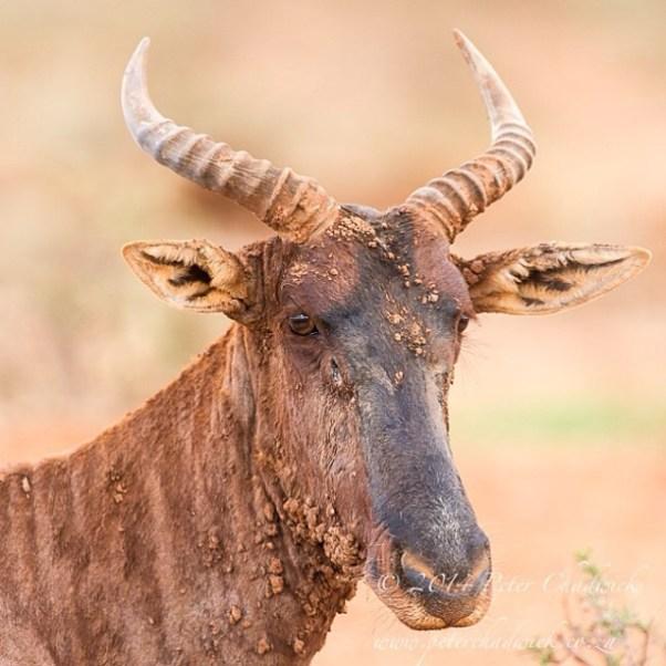 Portrait of a Tsessebe bull. Mokala National Park, Northern Cape, South Africa.