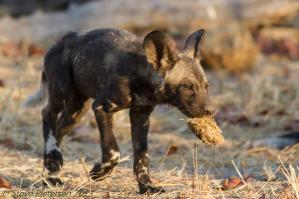 Pup in the Kwai (Moremi) region of Botswana by Steve's Safari Life