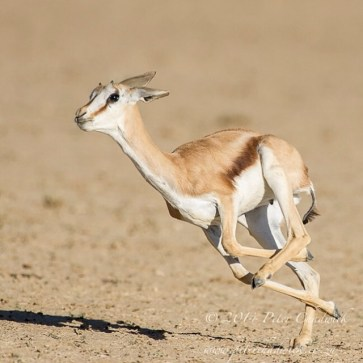 The Joy of Running - a Springbok lamb runs through the herd,