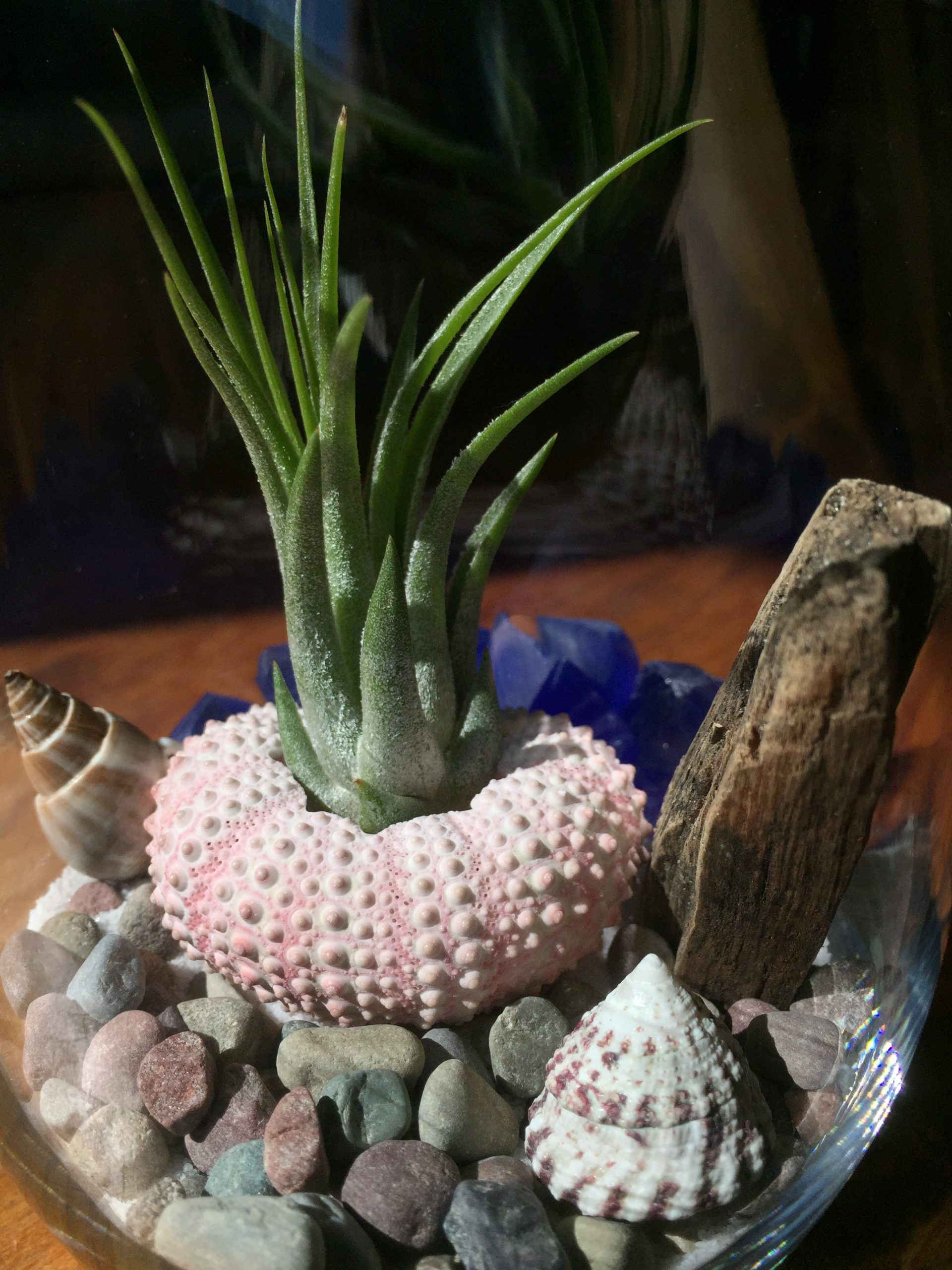 Air Plant Terrarium With Sea Urchin Shell Diy Unique Gifts Of