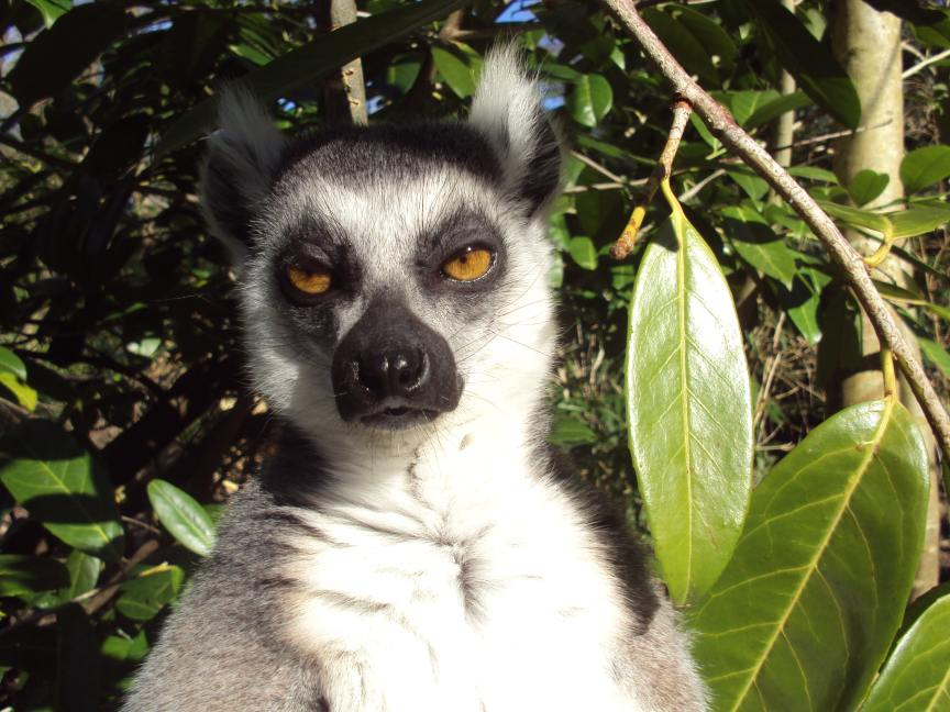lemur staring at the camera with eyes partially closed