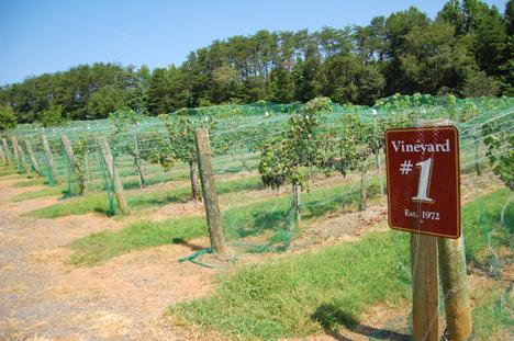 Westbend Vineyards' original vine planted in 1972 in Lewisville. Photo Credit:Amy C. Evans, oral historian,August 2008 Southern Foodways Alliance, via Flickr. Licensed CC.
