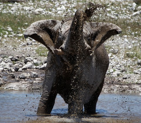 An elephant splashes on mud