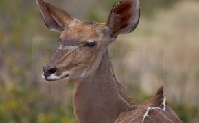 kudu poses