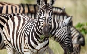 zebras eat