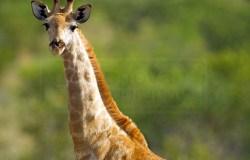 giraffe poses for a portrait shot