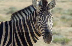 zebra stares in at the camera