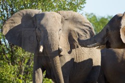 Two elephants interact at the Olifantsbad Waterhole