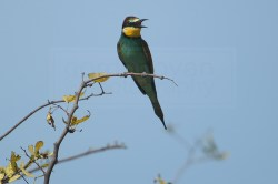 A bee-eater keeps his distance from the camera