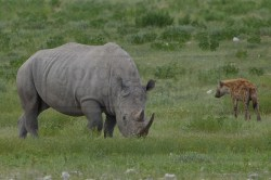 rhino surrounded by hyena