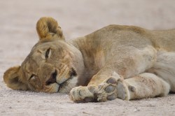 A lioness awakes from a nap