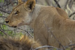 A lioness looks at people in vehicles who cannot shut up