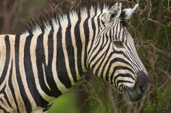 A zebra gives us the eye