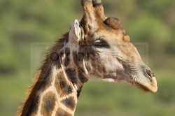 Giraffe puckers up