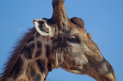 profile shot of a giraffe