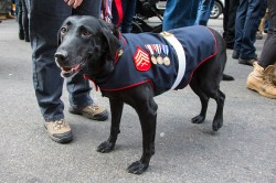 Rey, a retired IED detection dog that had worked with the Marines, takes a break during the Veterans Day parade on Fifth Avenue in New York on Nov. 11, 2014. (Gordon Donovan)