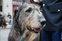 An Irish Wolfhound take a break in the march up Fifth Ave. during the St. Patrick's Day Parade, March 17, 2015 in New York. (Gordon Donovan)