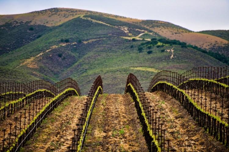 Central California coastal winery Tablas Creek imported vineyard cuttings from Rhone.