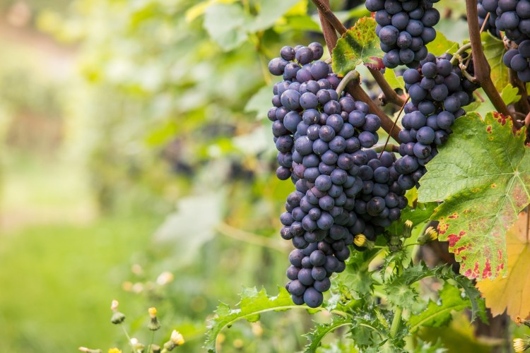 Pinot Noir grapes on the vine
