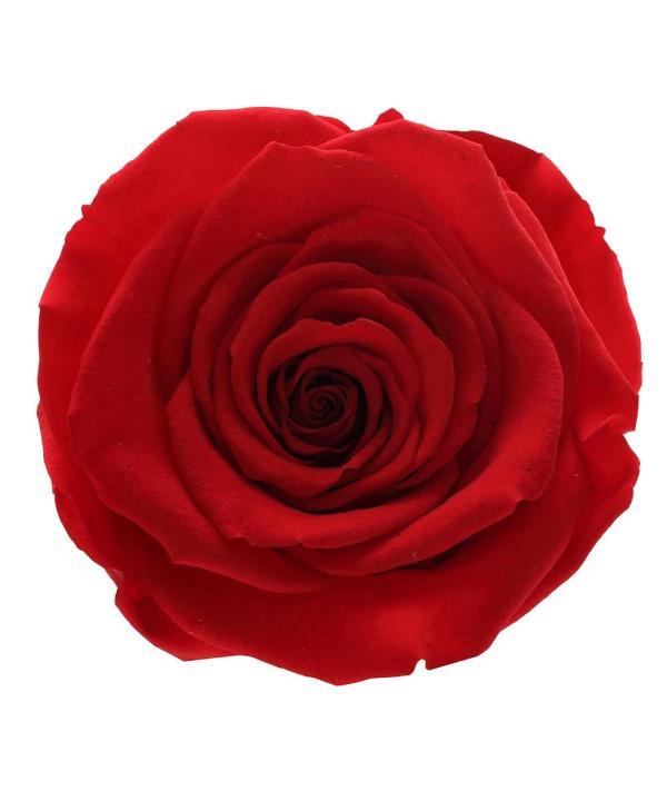 best roses in New York,ecuador roses in new York, rose amor buy online,