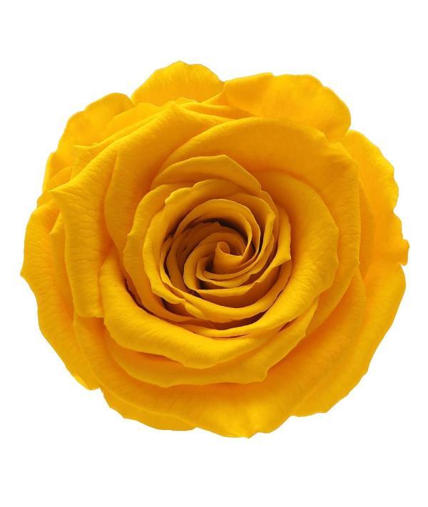 rose amor buy online