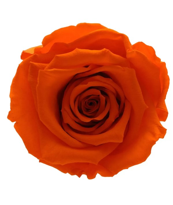 orange color roses, where to buy forever roses, gorgeous flowers,