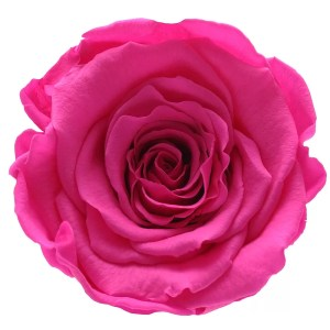 Magenta color of roses, rose amore, ecuador roses in NY, Ecuador roses order online,