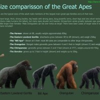 How Tall Are Gorillas - Gorilla Height