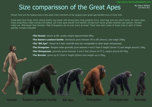 how tall is a gorilla