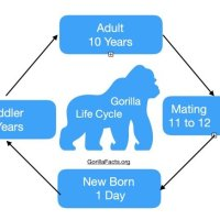 Gorilla Life Cycle - From Birth To Death All Explained