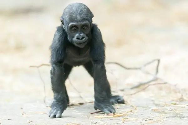 baby gorilla facts